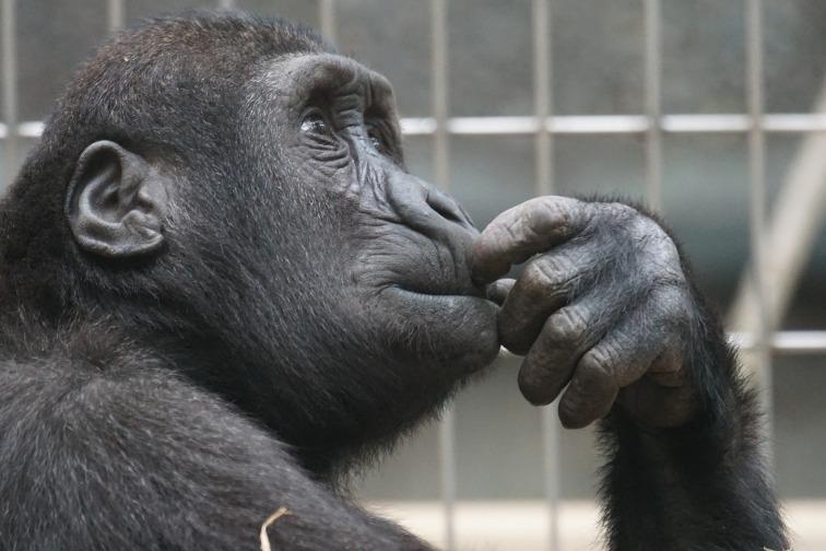 primate-1019101_1920